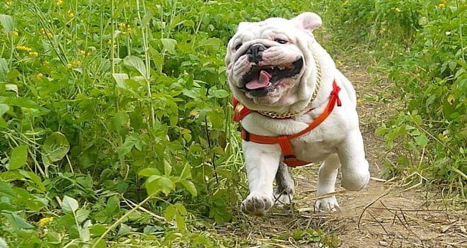 Private: How to Toilet Train French Bulldog?