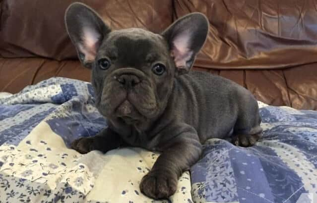 French Bulldog Colors All The Patterns And Looks Of A