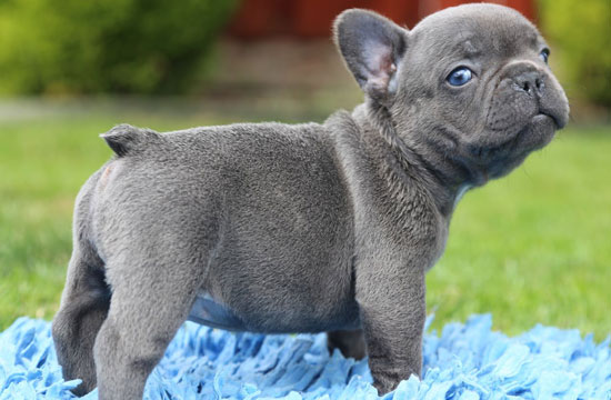 adopt french bulldog toy puppies for adoption wow blog 4588