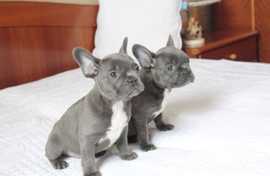 french bulldog adoption ma french bulldog puppies for adoption the things you need 104