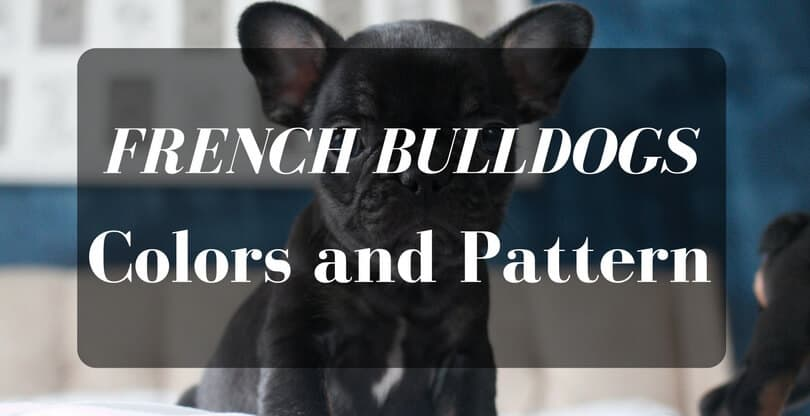 French Bulldog Colors And Pattern Petdt