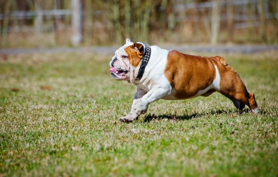tip-english-bulldogs-care-04