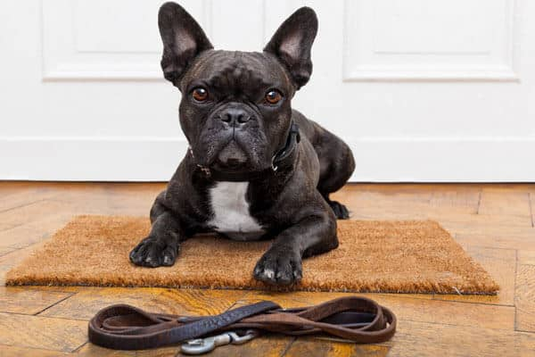 How To Manage French Bulldog Health Problems Petdt