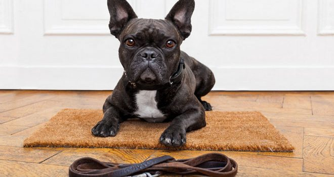 Private: How to Manage French Bulldog Health Problems