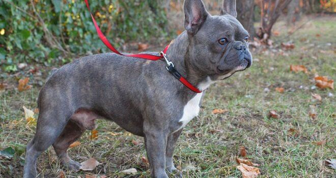 Private: How to Keep French Bulldog Adult Coat Shiny