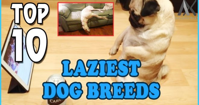Private: Top 10 Lazy Dog Breeds