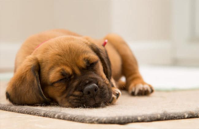 Dry kennel cough