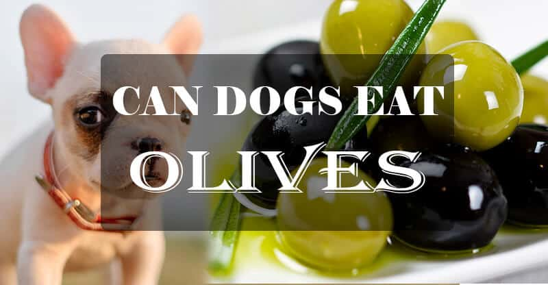 Dogs and Olives: Can Dogs Eat Olives Without Any Health Problems?