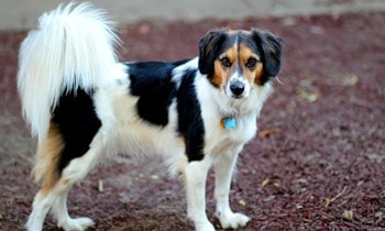 Border Collie Beagle Mix