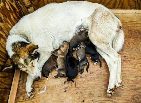 Stressed mother dog with puppies