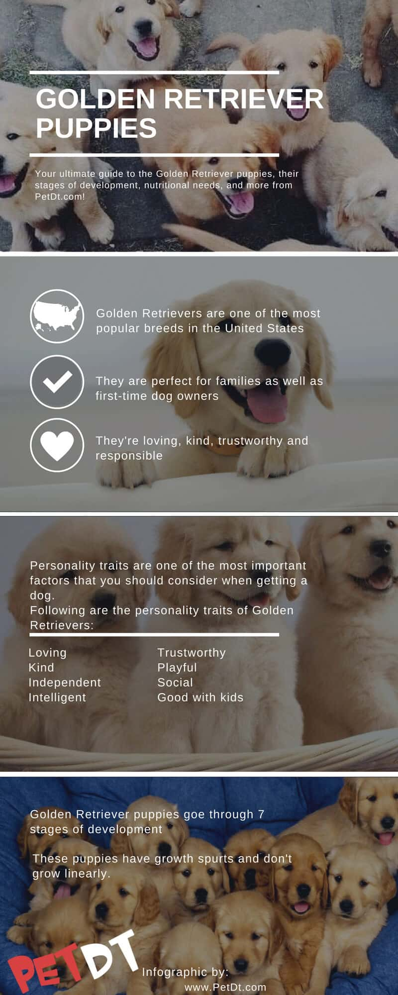 Your Ultimate Guide To The Cute Golden Retriever Puppies Petdt