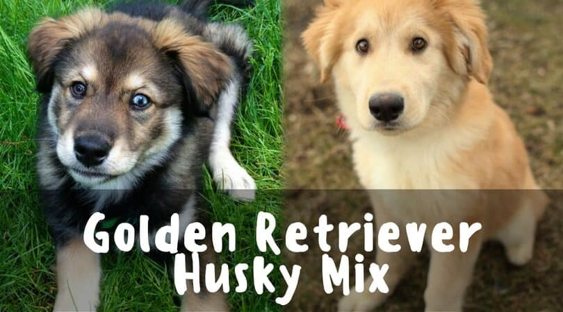 Introducing The Golden Retriever Husky Mix Petdt