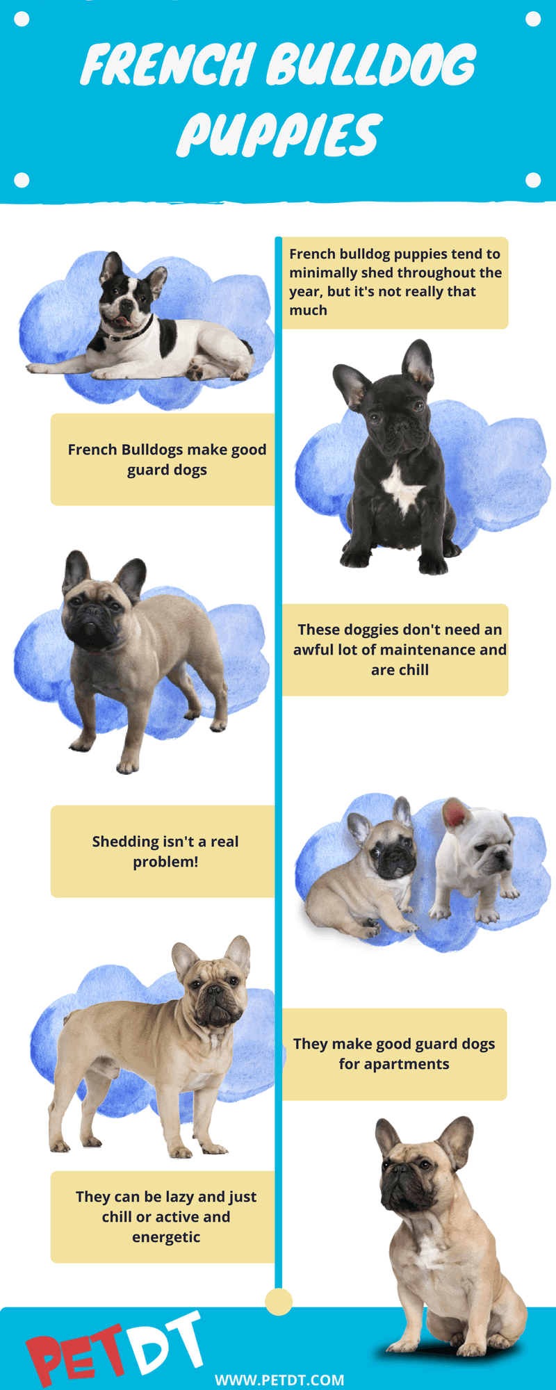 Everything you need to know about french bulldog puppies petdt a french bulldog puppies and all about their size nvjuhfo Choice Image