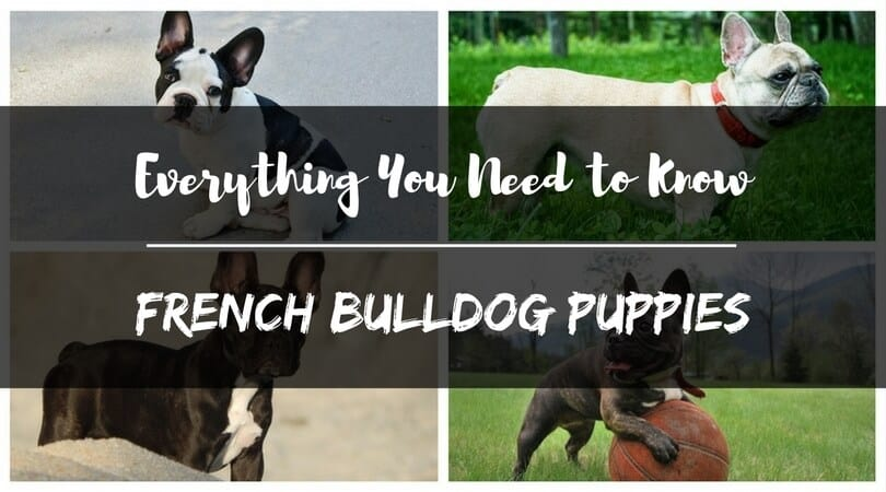 Everything You Need to Know About French Bulldog Puppies ...