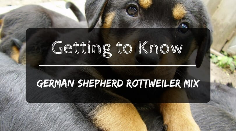 Getting To Know The German Shepherd Rottweiler Mix Petdt
