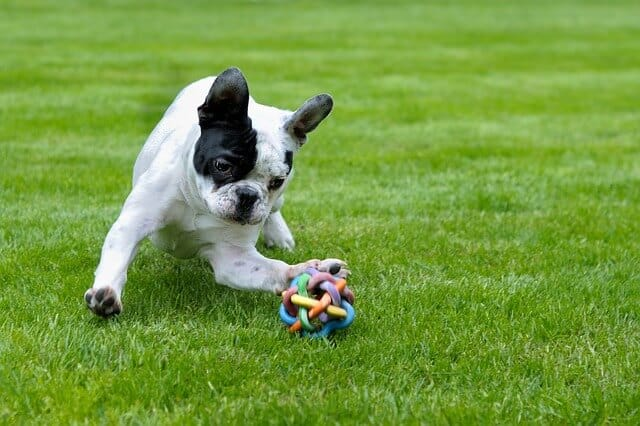 Everything You Need To Know About French Bulldog Puppies PetDt - 26 dogs puppyhood photos