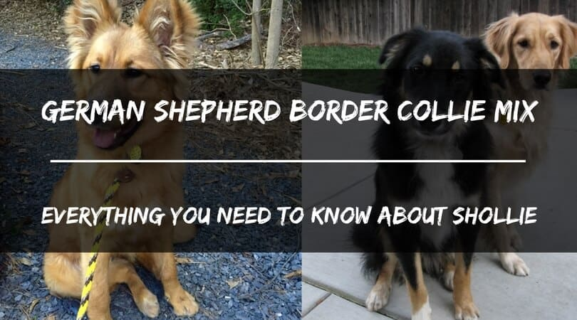 German Shepherd Border Collie Mix: Everything You Need To ...