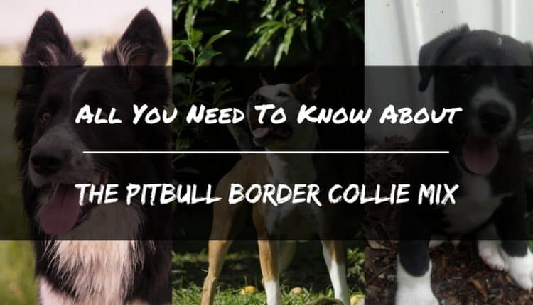 All You Need To Know About The PitBull Border Collie Mix ...