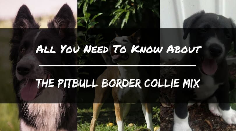 All You Need to Know about the PitBull Border Collie Mix - PetDT