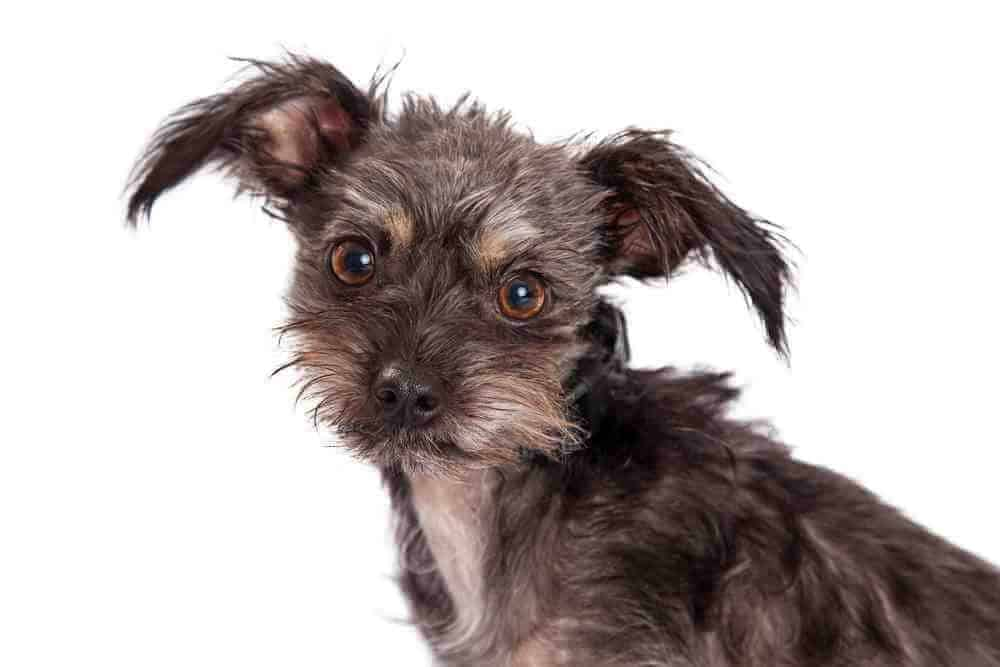 Taste Of The Wild Puppy Food >> Chihuahua Terrier Mix: All You Need to Know - PetDT