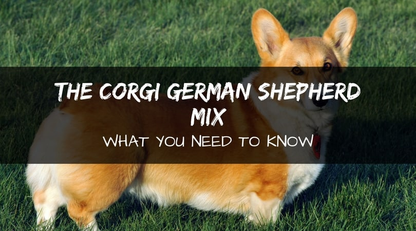 Corgi German Shepherd mix