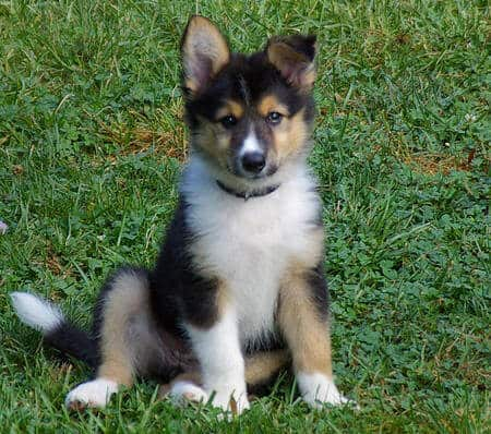 Everything You Need to Know about the Border Collie Husky ...