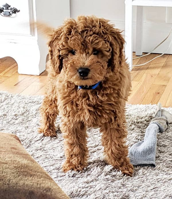 The calm Mini Goldendoodle