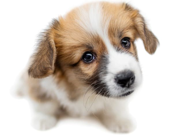 corg-mix-puppy