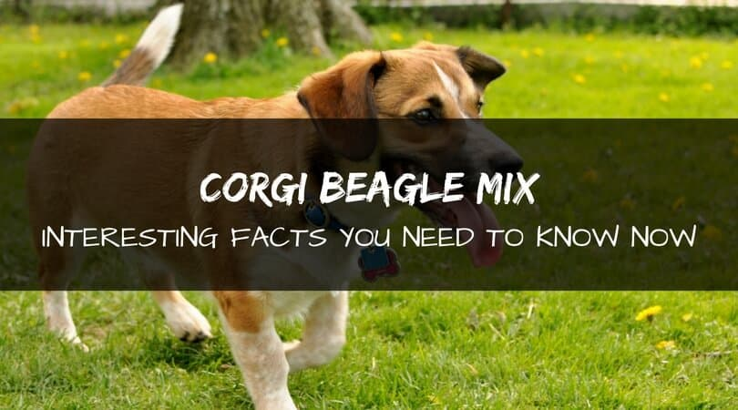 Corgi Beagle mix dog