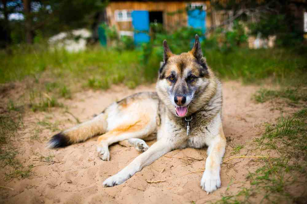 german shepherd and husky mix german shepherd husky mix an ultimate guide petdt 2253