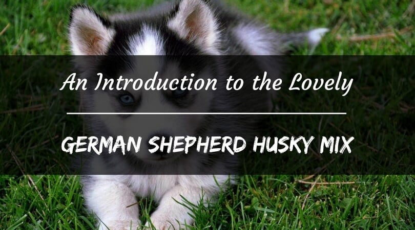 German Shepherd Husky Mix - An Ultimate Guide - PetDT