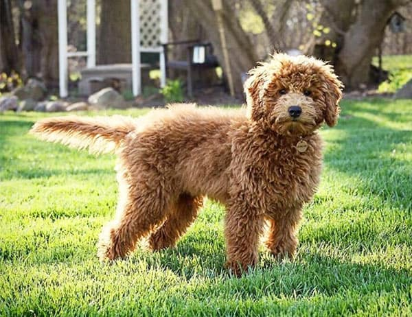 Miniature Goldendoodle 11 Incredible Facts You Need To Know
