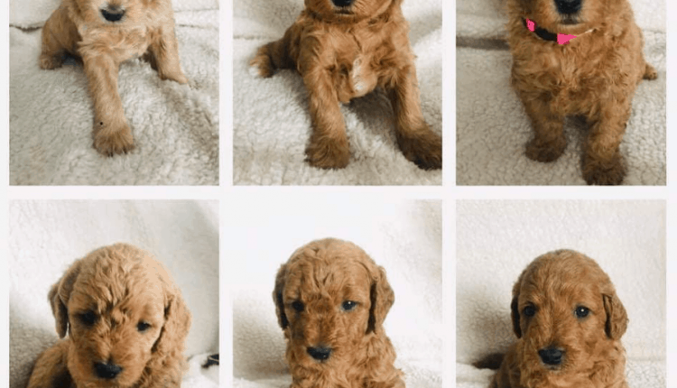 Miniature Goldendoodle Puppies