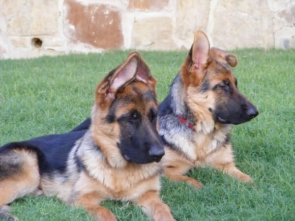 miniature german shepherd breed the miniature german shepherd everything you need to know 2317