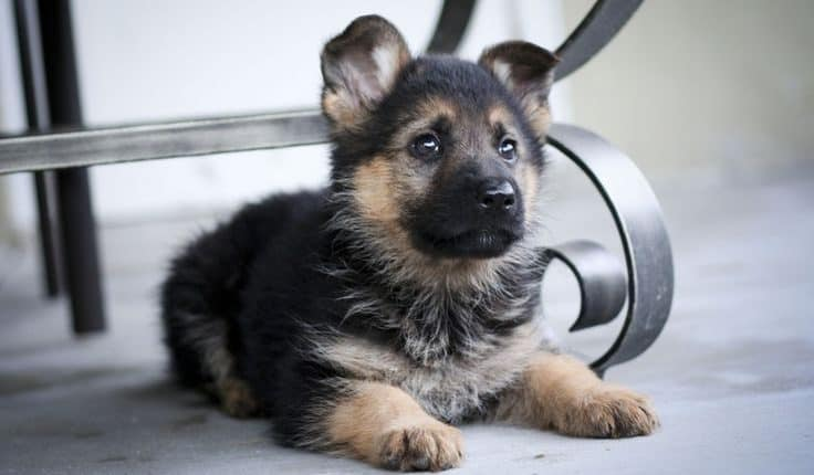 miniature german shepherd breed the miniature german shepherd everything you need to know 2301