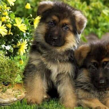 miniature german shepherd breed the miniature german shepherd everything you need to know 1987