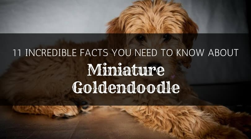 Facts about the Mini Goldendoodle