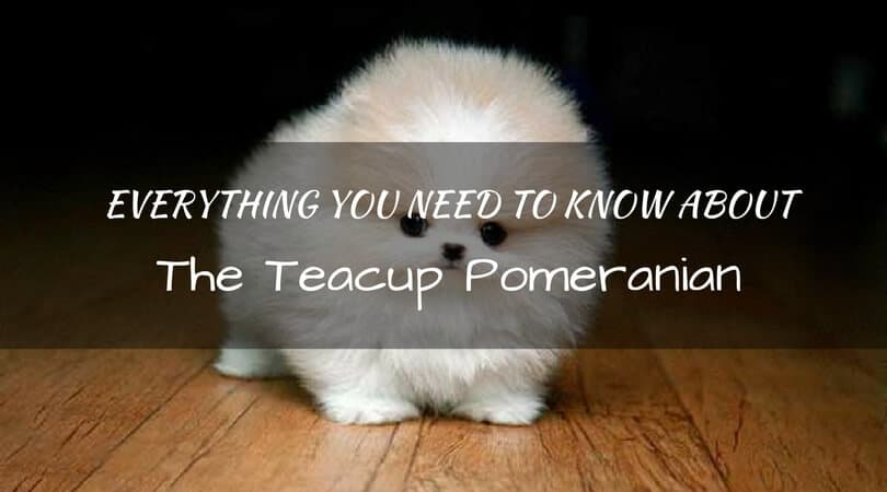 Everything You Need To Know About The Teacup Pomeranian Dog Breed
