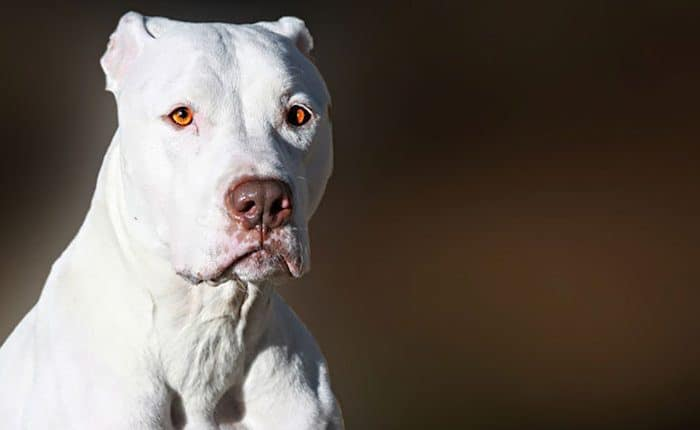 A Quick Introduction To White Pitbulls Petdt
