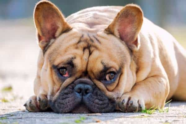 brown-french-bulldog-picture
