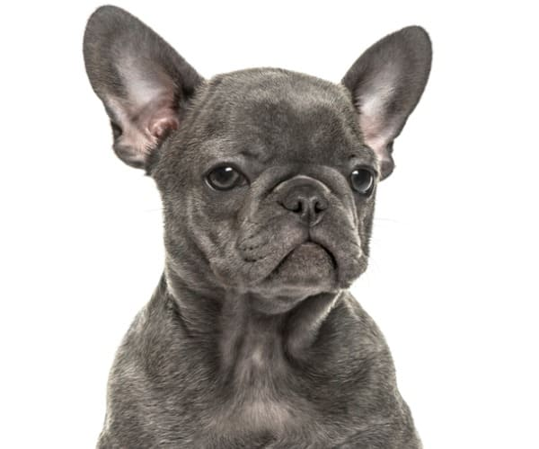 closeup-blue-french-bulldog-picture