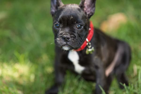 french-bulldog-puppy-happy-picture