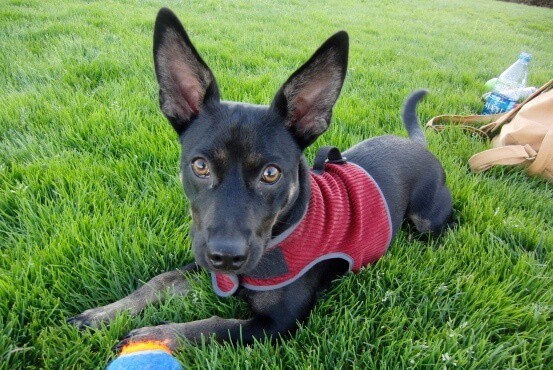 German Shepherd Chihuahua mix
