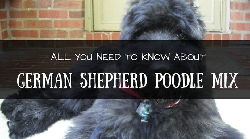 All You Need To Know About The Cute German Shepherd Poodle Mix Petdt
