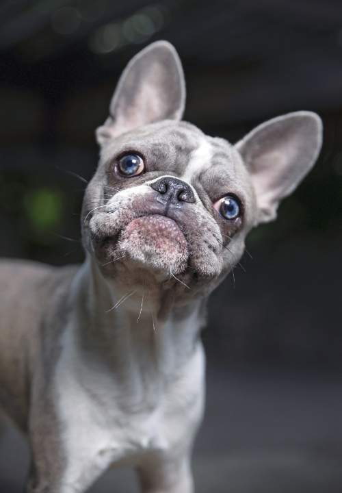 silly-blue-french-bulldog-picture
