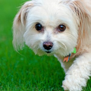 we show you how to choose the best dog food for maltipoo