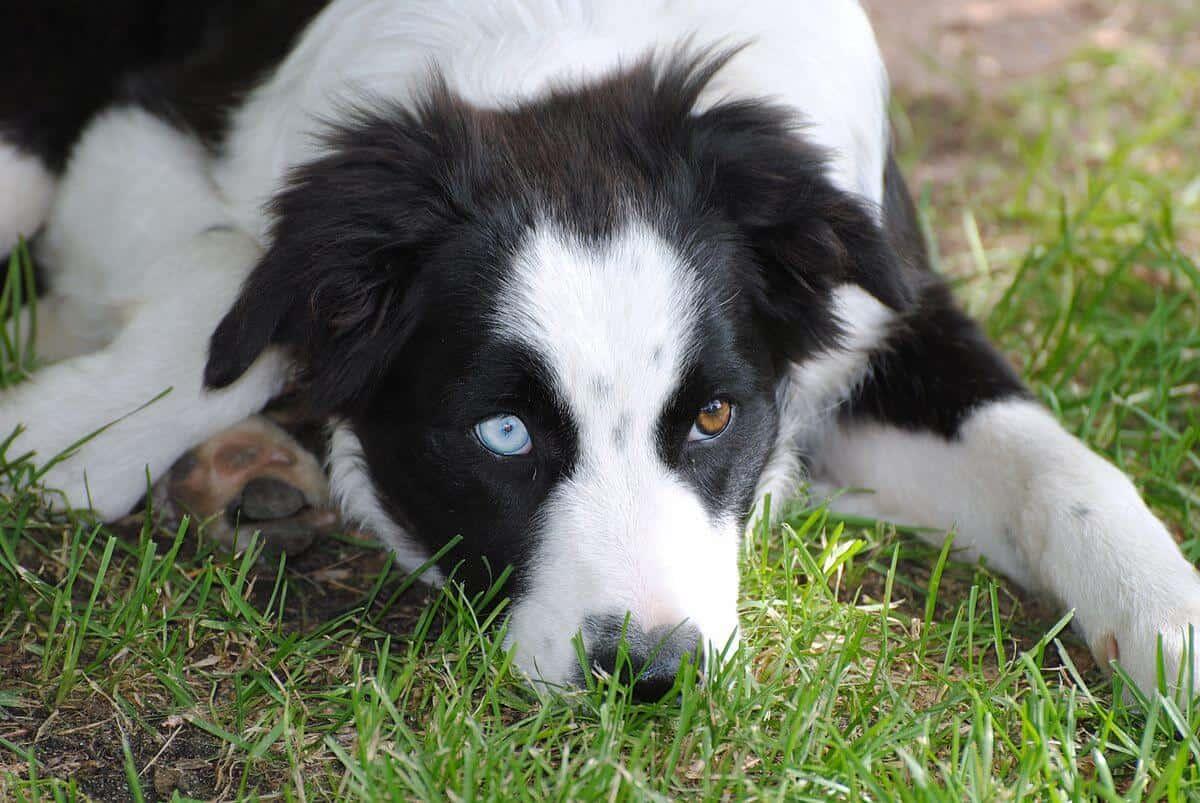 Black And White Beagle Pitbull Mix