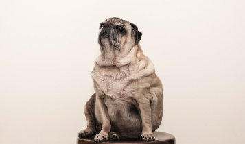 Gaining weight easily in senior dogs