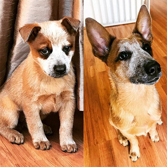 Australian cattle dog growing up