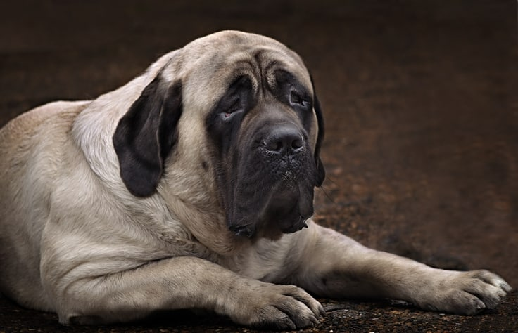 English Mastiff dog ready to eat